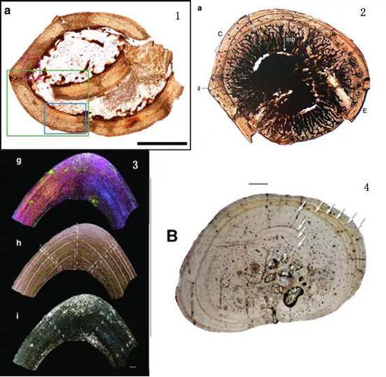 最近報道的一個小型暴龍,兩個阿爾瓦雷斯龍類,兩篇關於中生代鳥類髓質骨和蛋的相關研究論文,都進行了長骨的骨組織學研究(圖片來源:Zanno et al。, 2019; Xu et al。, 2018; O'Connor et al。, 2018; Bailleul et al。, 2019)。