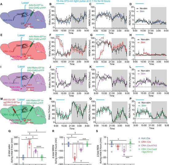 在小鼠的大脑中,人为激活这组神经环路,会导致小鼠失眠