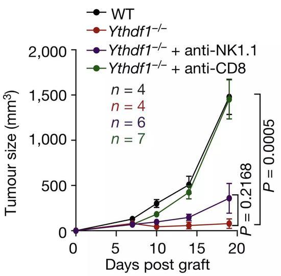 CD8阳性T细胞是关键