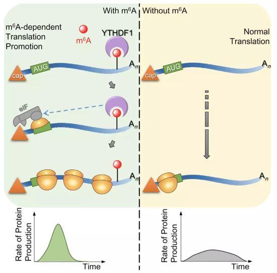 2015年发现的YTHDF1的作用机制