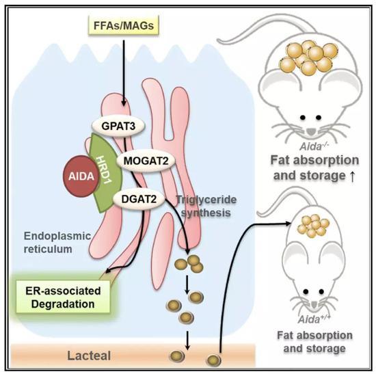 AIDA蛋白的作用机制