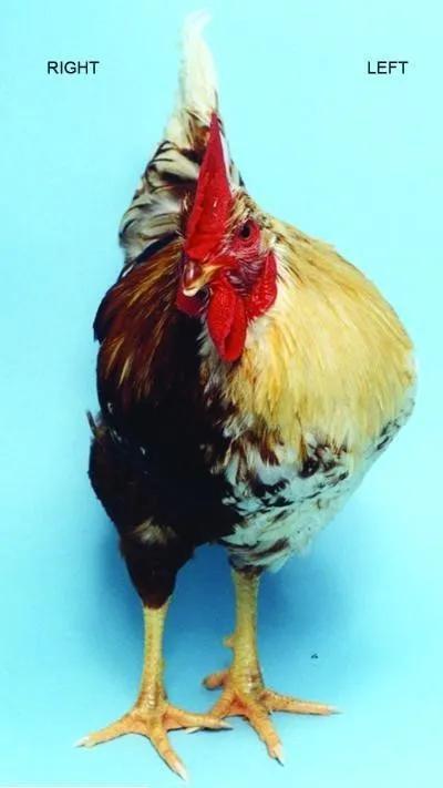 这只鸡的右边是雌性,左边是看起来更大的雄性