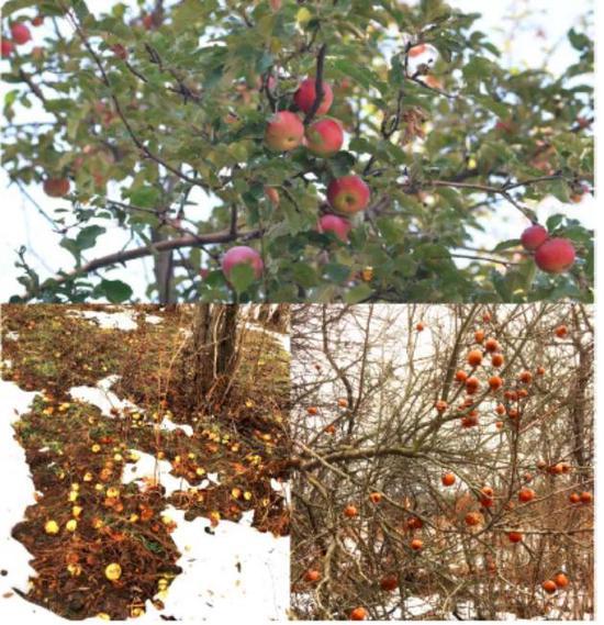 在野外果實成熟後腐爛在周圍的蘋果