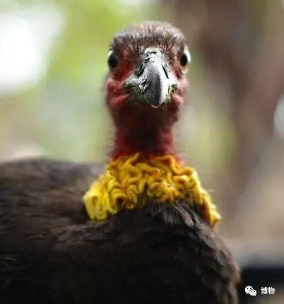 好丑的鸟啊...但它居然这么聪明!