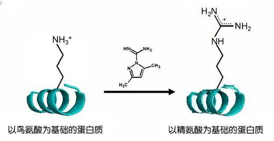 通过简单的化学反应将鸟氨酸转化为精氨酸。图片来源:魏茨曼科学研究学院
