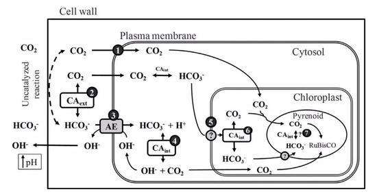 图4 巨藻(Macrocystis Pyrifera)及其利用HCO3-的示意图(Fernandez, P. A. et al 2014)(图片来源于塔斯马尼亚大学)
