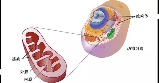 细胞中线粒体的构造,图片来源:必应