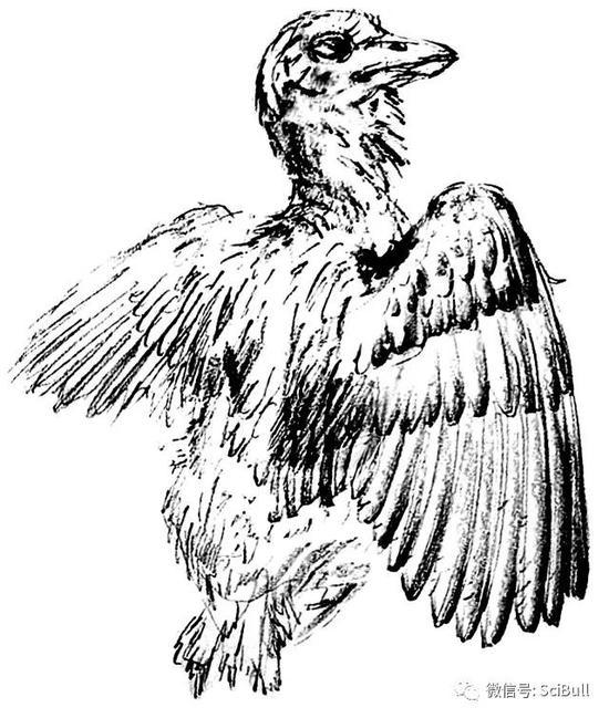 煎饼鸟标本死亡姿势图(绘图:张宗达)