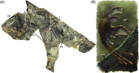 奇翼龍化石及復原圖