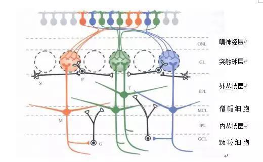 哺乳植物嗅球内细胞的分层构造:M代表僧帽细胞, T代表丛状细胞, S代表短轴突细胞, P代表球周细胞, G代表颗粒细胞(图片滥觞:中国知网)