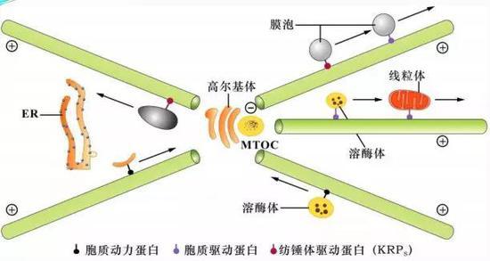 微管运送囊泡和细胞器示意图