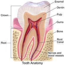 牙釉质(enamel)在牙齿的最外层