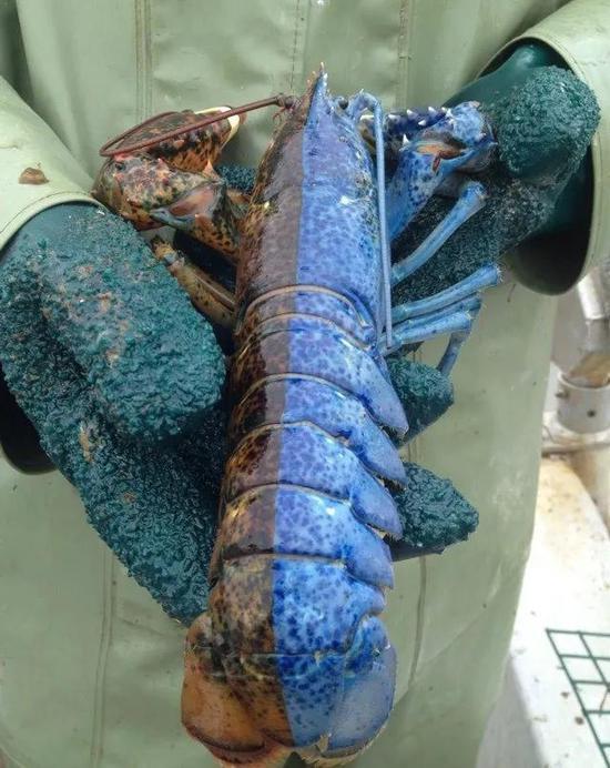 龙虾的中线似乎都很整齐