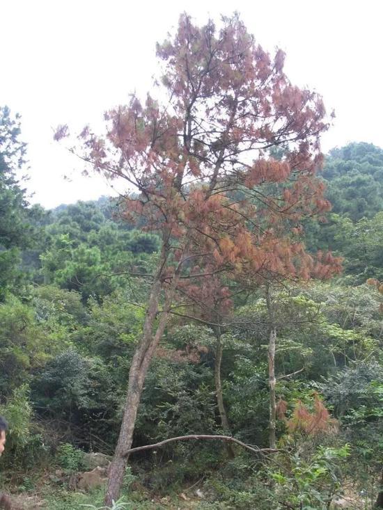 仅仅一个夏天松材线虫就可将一棵20年的马尾松杀死。图片来源:南京农业大学植物线虫实验室