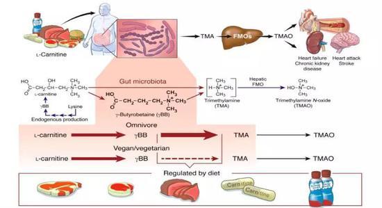 從紅肉到TMAO的轉化途徑 來源:The Journal of Clinical Investigation