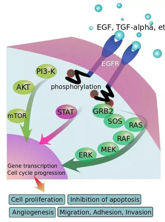 ▲EGFR信号通路示意图(图片来源:EGFR_signaling_pathway.png: Eikuchderivative work: Anassagora [Public domain])