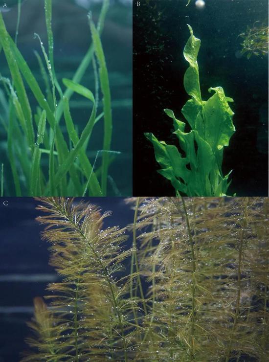图2 沉水植物的叶片形态:(A)苦草,(B)龙舌草,(C)穗状狐尾藻(付文龙拍摄)