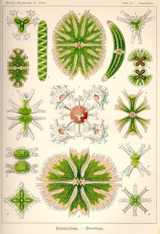鼓藻,单细胞的生命,呈现如此漂亮的形态