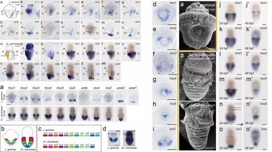 笠貝和石鱉Hox表達模式