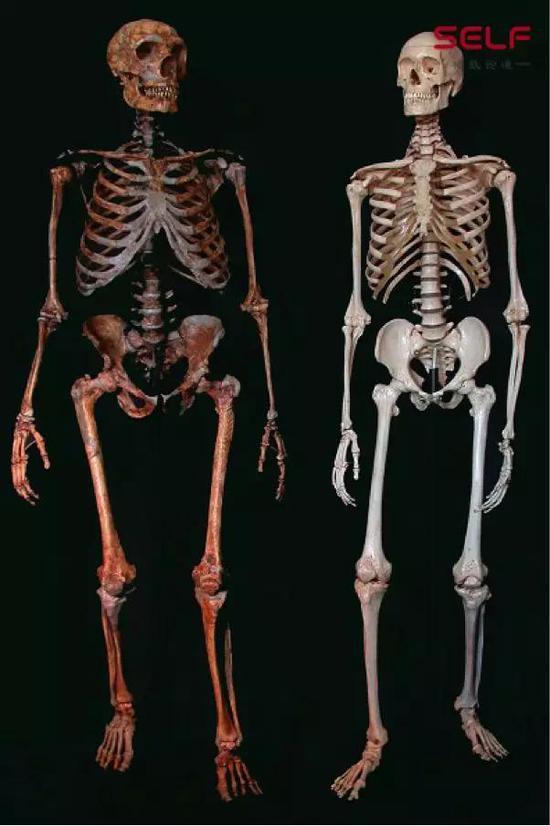 尼安德特人(左)与现代人(右)