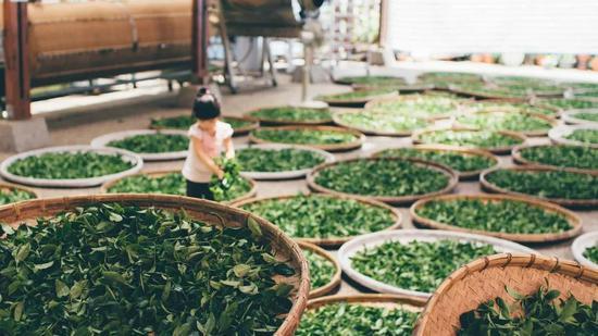 ▲值得一提的是,茶叶中富含槲皮素(图片来源:Pixabay)