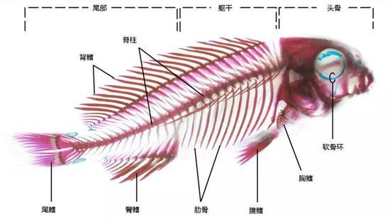 鲫鱼内部手绘结构图