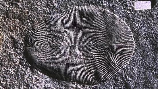 狄更逊水母化石