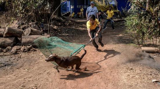 许多流浪狗易受惊吓,让它们乖乖注射疫苗并不容易。有人甚至训练了捕狗队来落实疫苗注射(图片来源:nytimes.com)