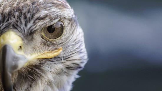 """不过,由于鸟类的眼睛通常只外露瞳孔部分,没有给人留下""""大眼""""的印象"""