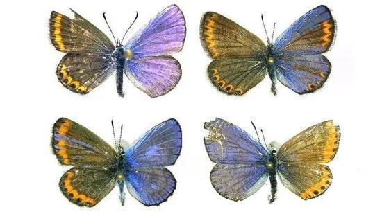 不同颜色的半雌半雄蝴蝶