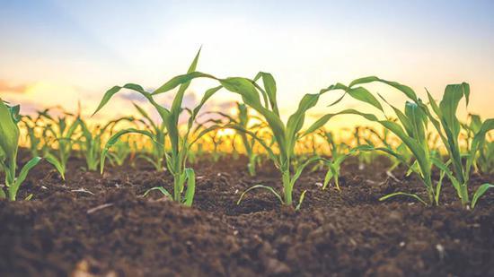 """效益加持,争议犹存:转基因作物的""""成熟秋天""""来了吗?"""