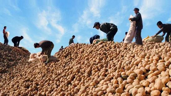 图5 收获季节的马铃薯