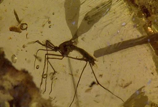 电影《侏罗纪公园》中用于提取恐龙DNA的蚊子其实是吸花蜜的,还是只雄性