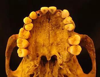 通过研究来自来自一个中世纪(公元1100年)德国的中年男子的牙齿,人类学家可以发现很久以前人们吃什么、得什么病。ChristinaWarinner