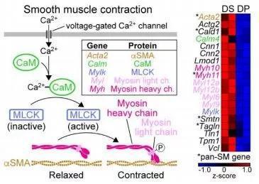 ▲真皮鞘細胞的基因表達和信號通路表現出平滑肌的特徵(圖片來源:參考資料[1])