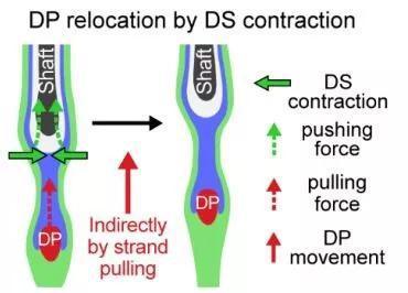 ▲真皮鞘收縮拉動真皮乳頭細胞並推動毛幹向上(圖片來源:參考資料[1])