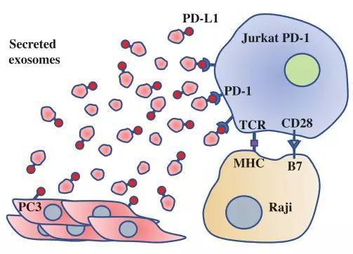 前列腺癌细胞释放含PD-L1蛋白的外泌体