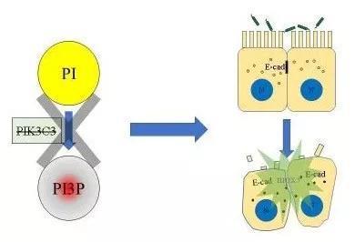 圖6 PI3P缺失導致上皮細胞連接破壞,最終招募中性粒細胞,發生急性炎症(來源:Deficiency in class III PI3-kinase confers postnatal lethality with IBD-like features in zebrafish)