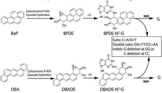 BαP诱导的突变途径