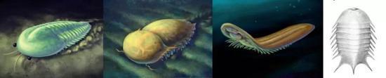 几种三叶形动物 从左至右:灰姑娘虫(海怪虫类),刺状纳罗虫(纳罗虫类),膜状谜虫(盾盖虫类),冠尾海丰虫(赫尔梅蒂类)(图片来源:谭超、赵方臣)