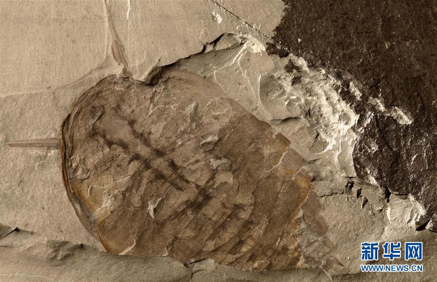"""""""清江生物羣""""中發現的新物種化石。新華社發(西北大學供圖)"""