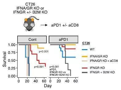 ▲在黑色素瘤小鼠中阻断肿瘤细胞的干扰素信号,提高抗PD-1疗法的效果(图片来源:参考资料[1])