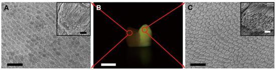 右侧的新生牙釉质和左侧的原生牙釉质完全一样