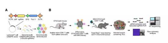 ▲这款新型CRISPR筛选系统的示意图(图片来源:参考资料[1])