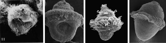 幾種代表性貝類的擔輪幼蟲,從左到右:雙殼綱、腹足綱、掘足綱、多板綱。(圖片來源:Wanninger, 2001; Silberfeld, 2006; 中科院海洋所研究人員)