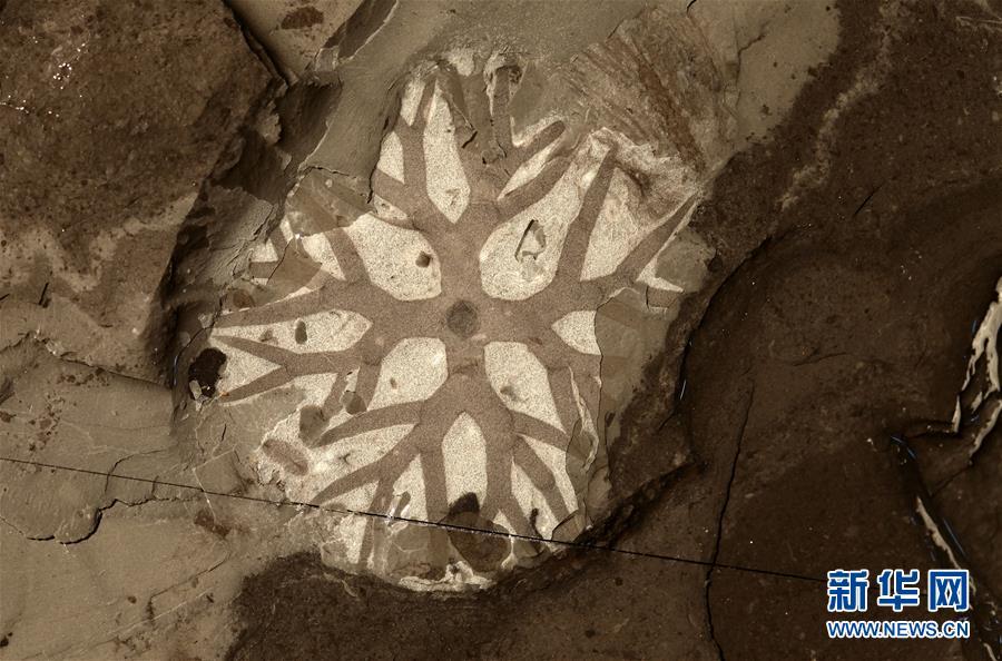 """""""清江生物羣""""中發現的分枝藻類化石。新華社發(西北大學供圖)"""