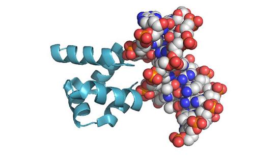 实验中重构的蛋白质(HhH)2与现代DNA分子的结合。