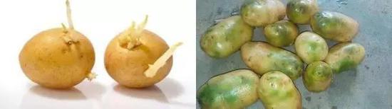 图7 不能食用的马铃薯