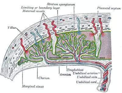 胎盘解剖结构。图源:histology-world.com