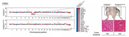 图2 FOXO3增强型人血管细胞对细胞癌化具有?#24247;?#25239;作用。